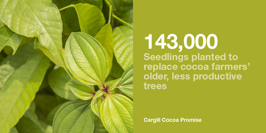 cocoa seedlings improve productivity