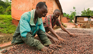 cocoa farmers hand sorting beans