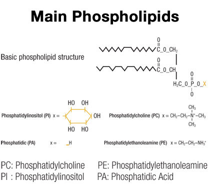 inpage apac main phospholipids