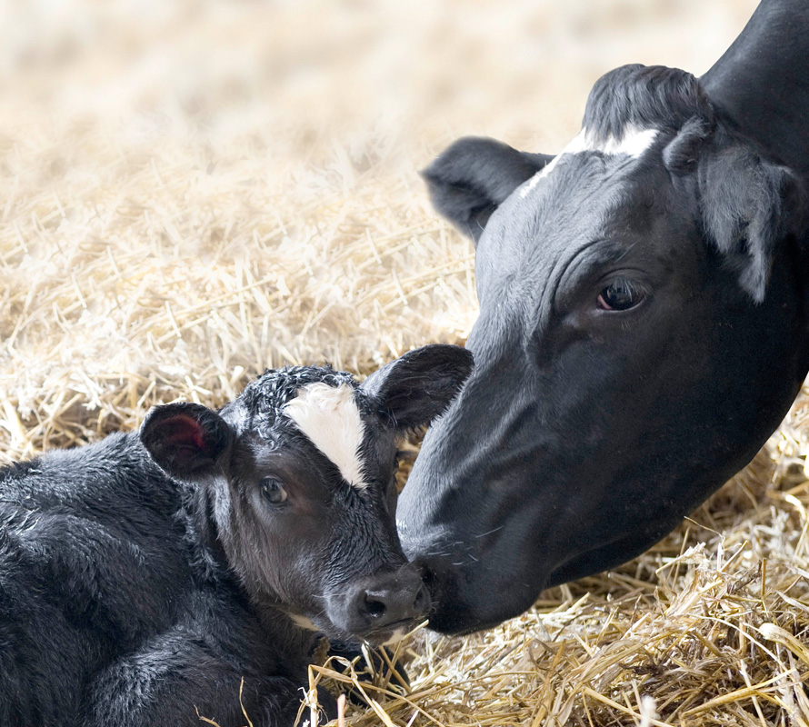 inpage-dairy-calf-and-heifer.jpg
