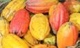 Cocoa pods. Cargill.