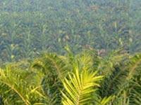 Palm plantation. Cargill.