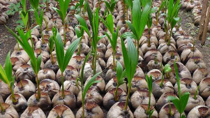 Cargill, in partnership with Winrock International, is donating 20,000 high quality coconut seedlings to 200 smallholder coconut farmers.