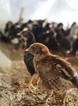 Cargill launches poultry farming mentorship program in Indonesia