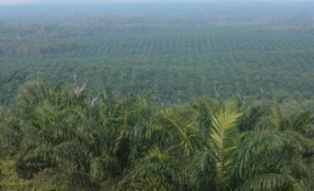 West Kalimantan, PT Harapan Sawit Lestari palm plantation.