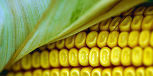 Corn. Cargill.